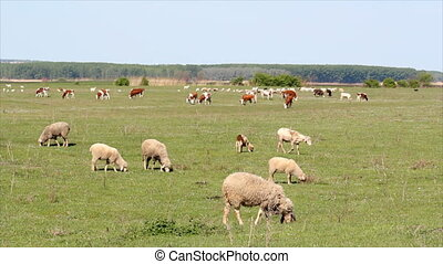 farm animals on pasture