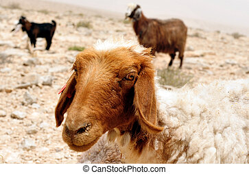 Farm Animals - Sheep - Flock of sheep grazing in the Negev ...