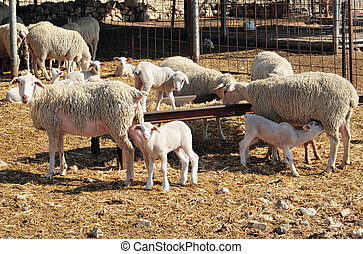 Farm Animals - Sheep - Sheep in Individual farm in the Negev...