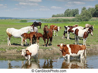 farm animals on river
