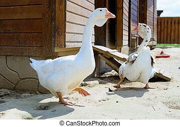 bird duck goose