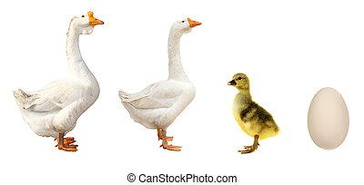 farm birds goose on a white background