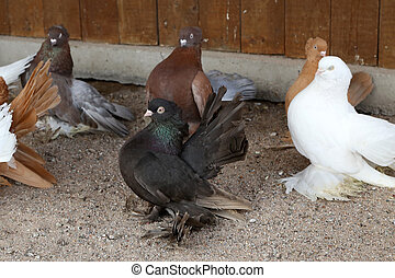 Farm. Breeding decorative pigeons in the cage.