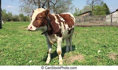 Farm calf grazing in a green field