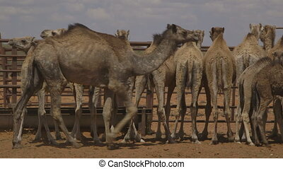 Farm camel stand in a line, Northern Territory - Close up...