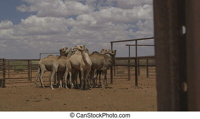 Farm camels pushing each other, Northern Territory - Medium...