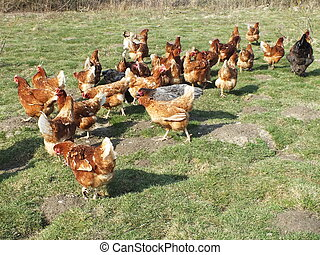farm chickens in the countryside