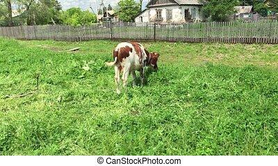 Farm cow grazing in a green field