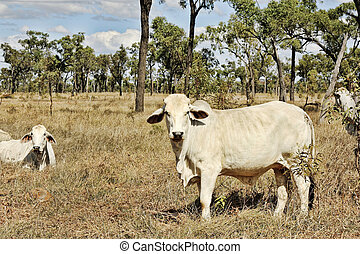 farm cows roaming in the bush of Australia outback