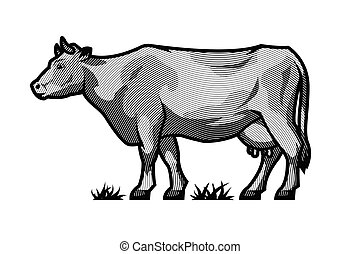 Farm dairy cow. Illustration in engraved style in black and white style.