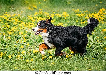 Bernese Mountain Dog Berner Sennenhund Playing Running Outdoor I