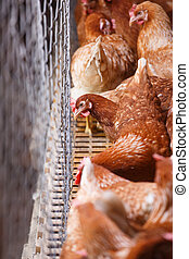 Farm egg-laying hens, living in confined spaces