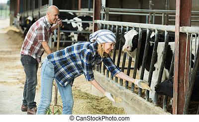 Farm employees in livestock barn. - Cheerful farm employees ...