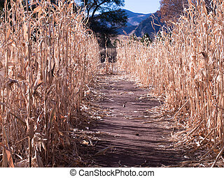 Farm Field of Corn in Fall