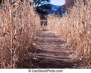 Farm Field of Corn in Fall