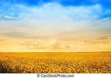 Farm field of golden rape flowers - Agriculture - farm field...