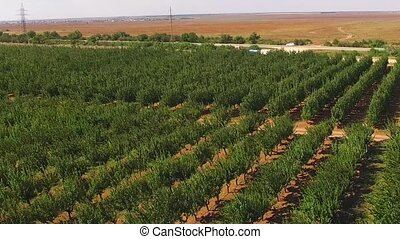 Farm fruit trees near the highway - Fruit farm planted in...