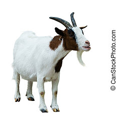 Farm goat. Isolated on white - Farm goat. Isolated on white...