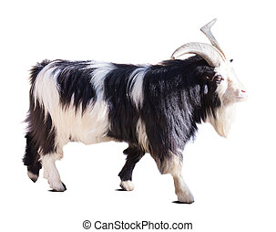 Farm goat. Isolated over white