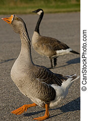 Farm Goose and Canada Goose - A closeup of a farm goose with...