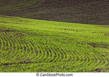 Farm Land - Farm Land, green wheat fields