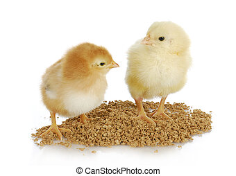 farm poultry - newborn chicks eating from pile of feed on...