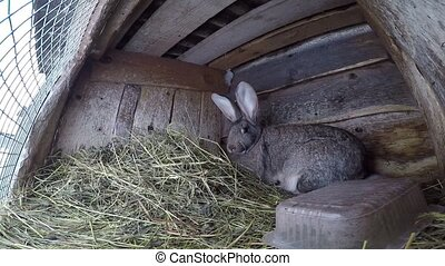 farm rabbit in cages. Gray big bunny sits in cages eating...