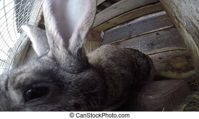 farm rabbit in cages. Gray big bunny sits in cages eating hay