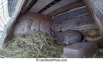 farm rabbit in cages. Timelapse video. Gray big bunny sits...