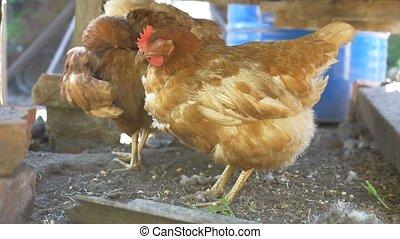 farm redhead bird chicken in yard of a pet slow motion video...