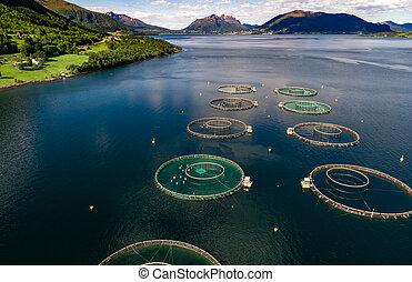 Farm salmon fishing