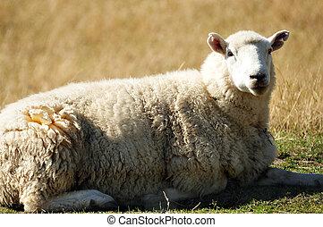 Farm South Island New Zealand - Close up of farm with sheep...