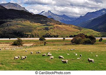Farm South Island New Zealand - Farm with sheep landscape in...