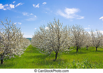 farm with flowering trees - spring in the countryside -...