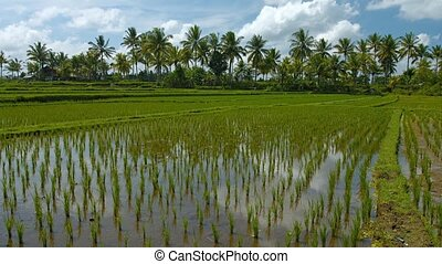 Farm with Lowland Rice Paddies in Southeast Asia. video -...