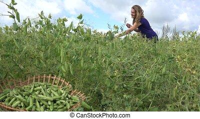 farm worker girl pick ripe peas pods to wicker basket. 4K