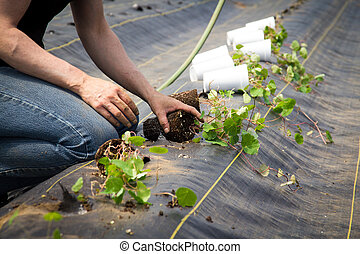 Farm worker preparing and transplanting organic new mashua plants