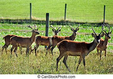 farma, čerstvý, jelen, zéland