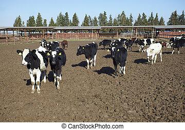 farma, zemědělství, dojit kráva, hovězí