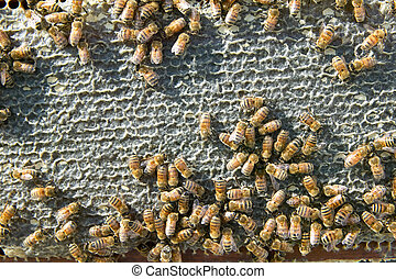 Farmed worker bees swarming on honeycomb panel