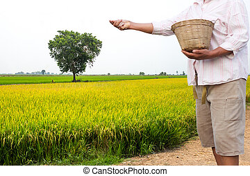Farmer apply chemical fertilizer in rice field