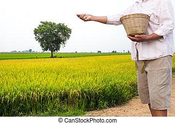 Farmer apply chemical fertilizer in rice field