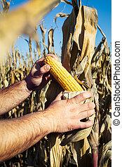 Farmer at corn harvest