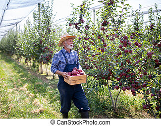Farmer carrying crate with red apples in orchard