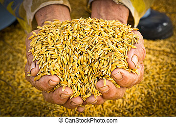 Farmer carrying paddy on hand