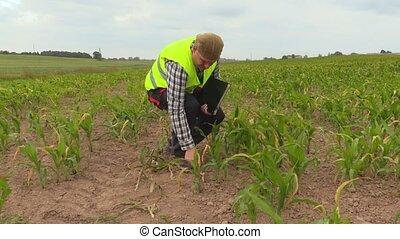 Farmer checking cornfield in summer day
