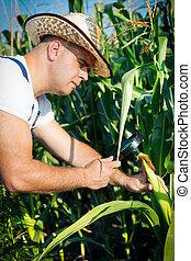 Farmer checking his cornfield