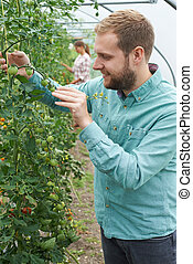 Farmer Checking Tomato Plants In Greenhouse