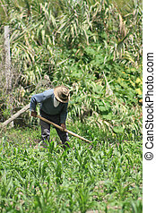 A farmer uses a hoe to clear weeds from his corn field on his farmland in Cotacachi, Ecuador