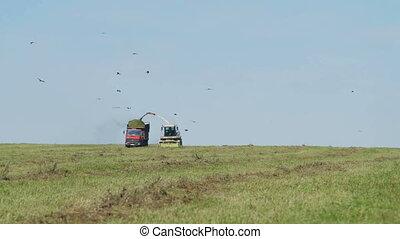 Farmer Combain harvesting in field